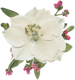 white larkspur flower image