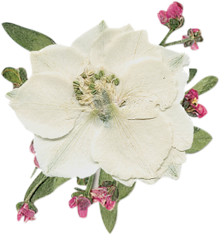 White Larkspur Real Pressed Flower